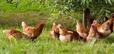 Diferencia Huevos camperos y Ecologicos